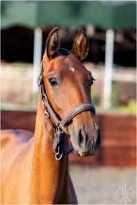 Photo cheval a vendre PASHMINA DE LA GESSE
